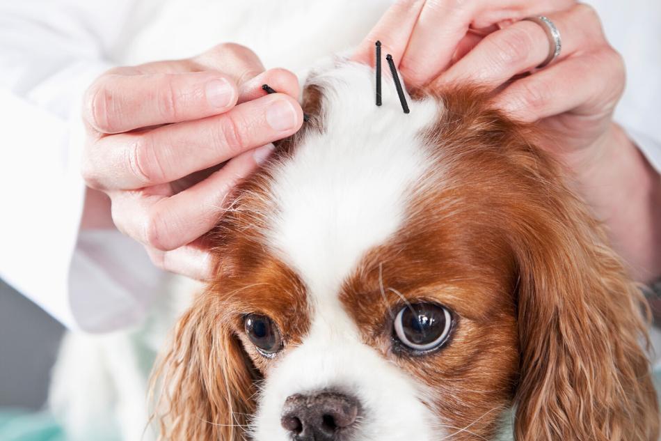 Acupuntura Veterinária em Cachorros
