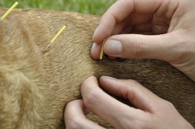 Acupuntura Veterinária – O que é?
