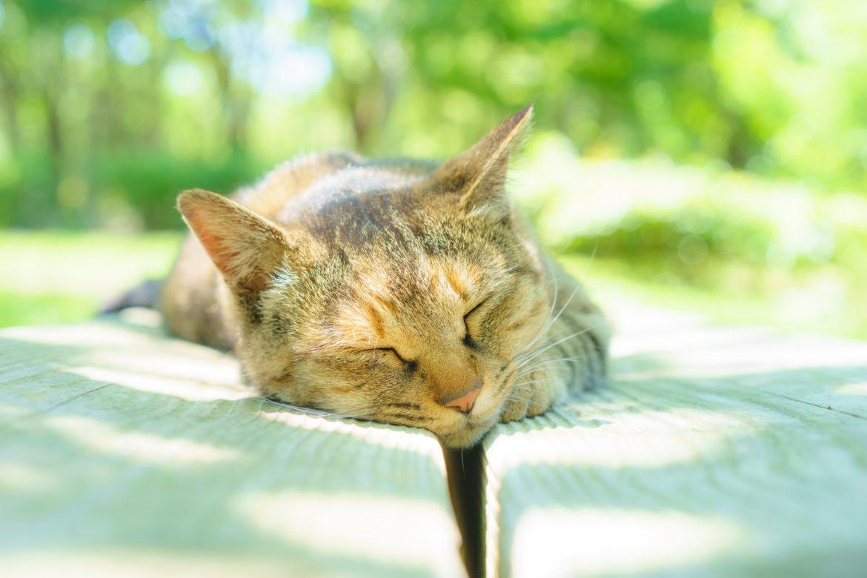Artrose em Gatos – Degeneração das Articulações