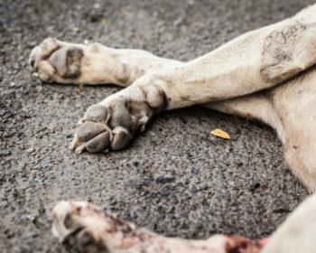 Cachorro ou Gato atropelado – Medidas a adotar