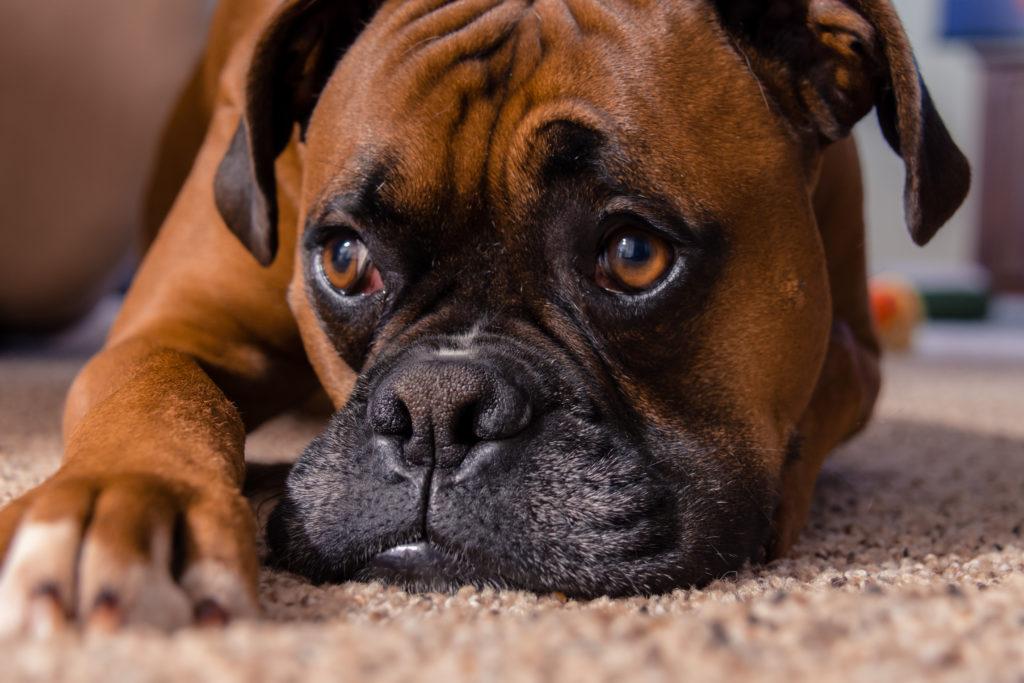 Discopatia em Cães – Entenda e combata