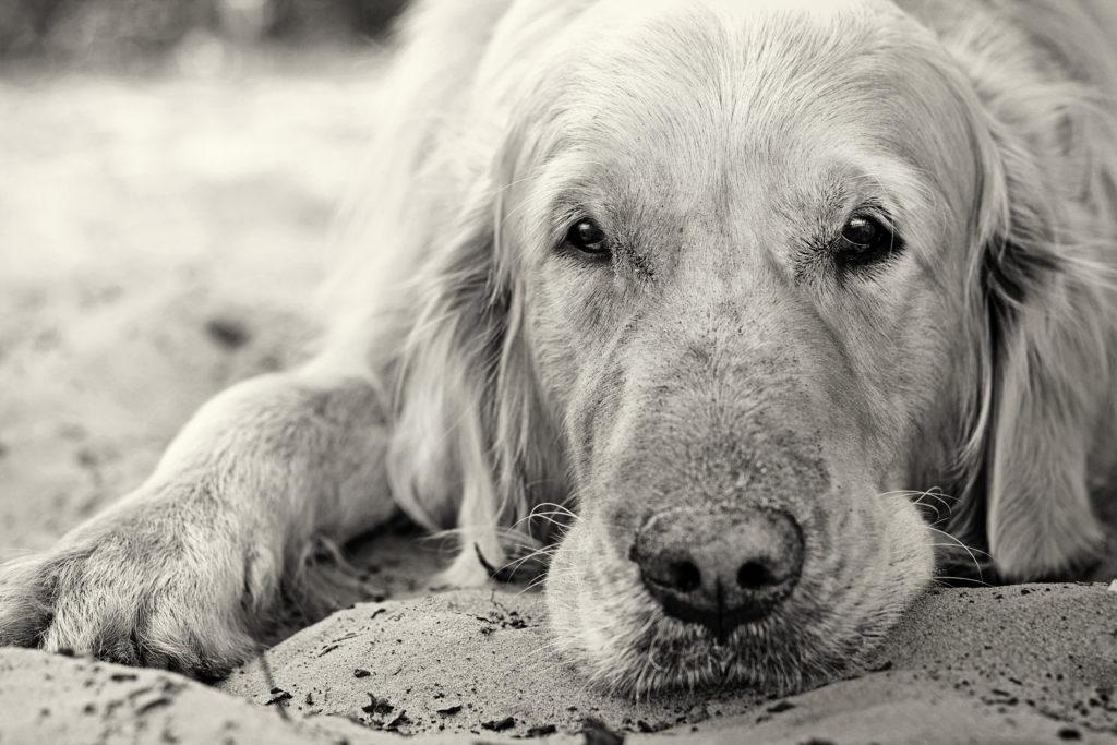 Osteossarcoma em Cães – Compreenda