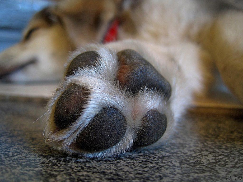 Patas de Cães – Doenças possíveis
