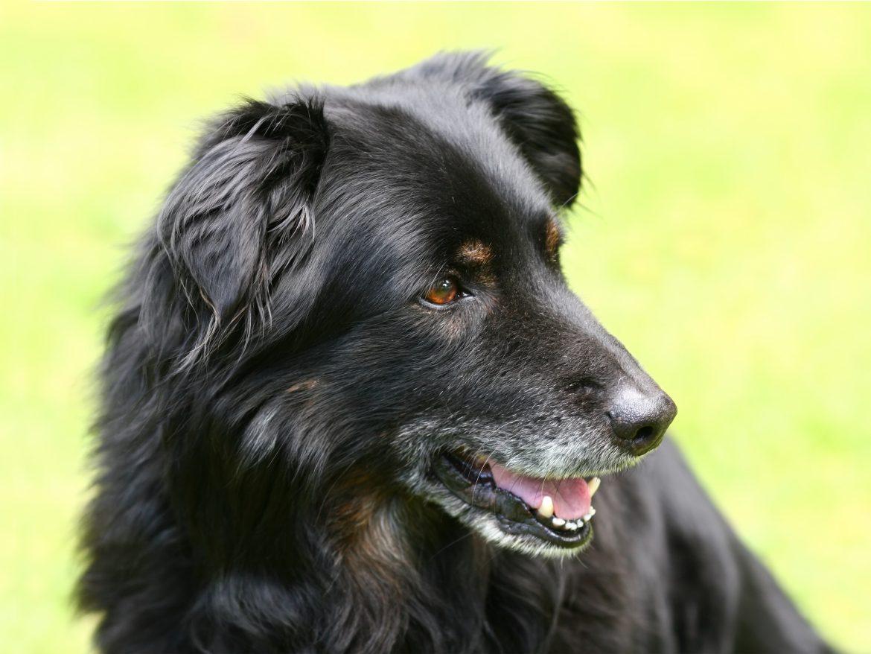 Cachorro Idoso – Saiba como cuidar da saúde do pet