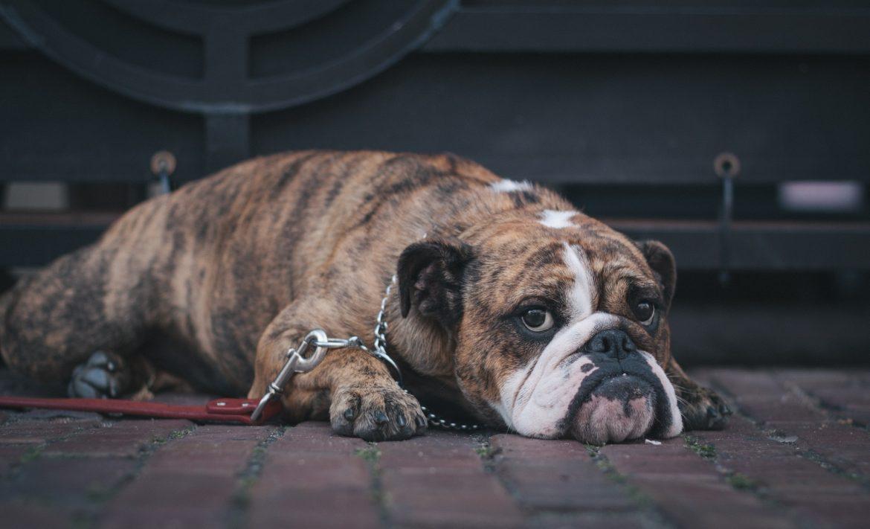 Cachorro Obeso – Programa de Emagrecimento Eficaz