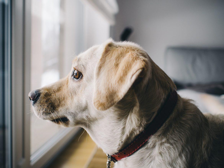 Cão com Medo de Fogos de Artifício – Como Lidar?