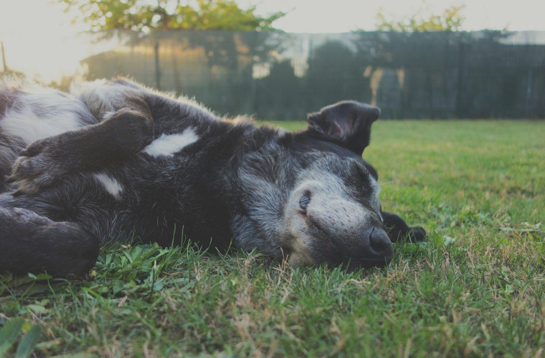 Cachorro Cansado – Como Recuperar sua Rotina Saudável?