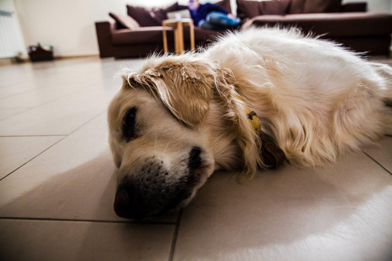 Cachorro Paralisado e Tremendo – Possíveis Causas