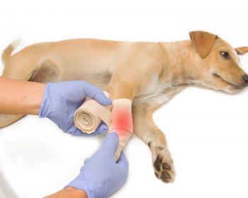 Ortopedia em Cachorro – Quais Doenças e Lesões Tratamos?