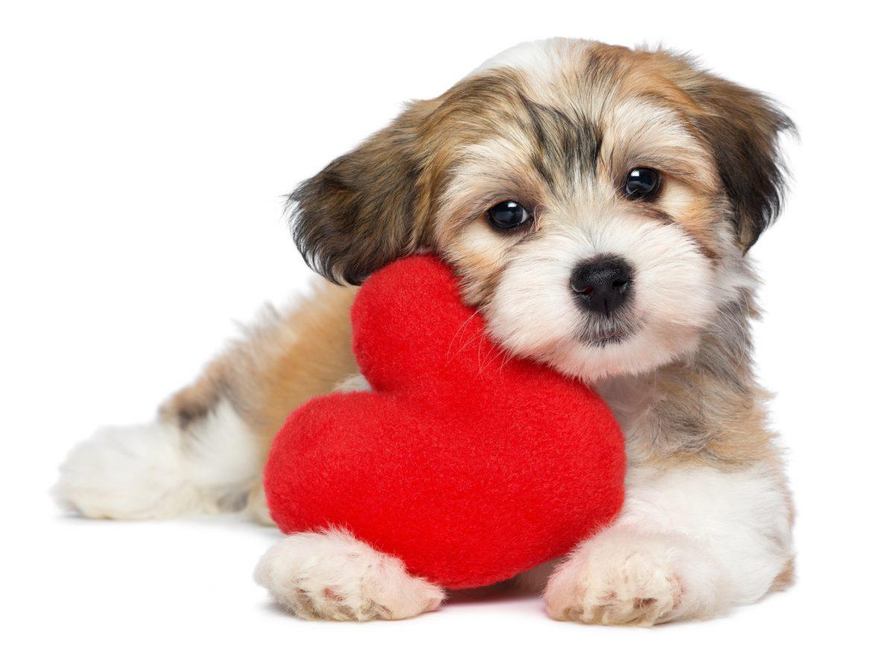 Cardiologia Veterinária – Doenças Cardíacas Possíveis