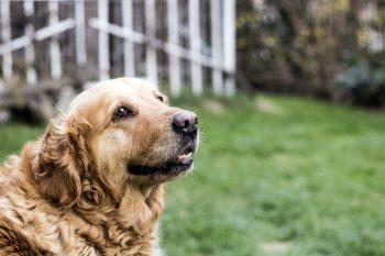 Convulsão em Cachorro – O que devemos fazer?