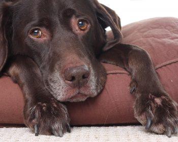 Alzheimer Canino – Cuidando da Velhice do meu Cão
