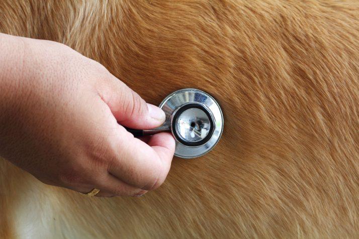 Insuficiência Valvar Mitral em Cães – Compreenda