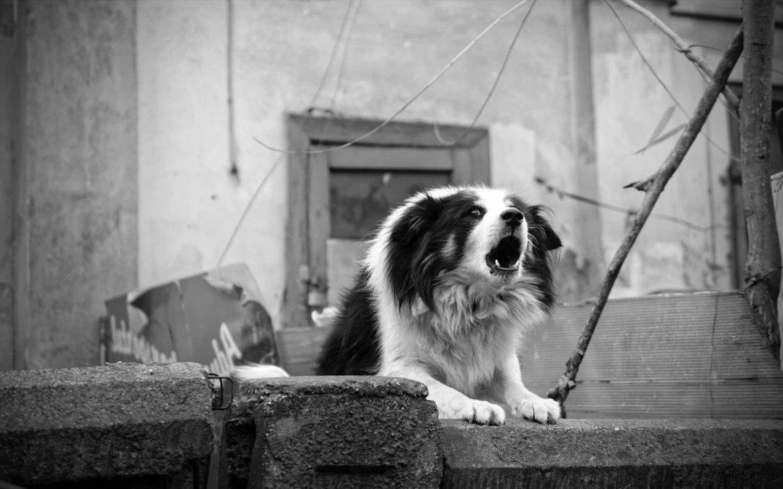 Como Fazer o Cachorro parar de Latir?