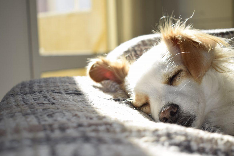 Cachorro Mancando por Causa do Frio