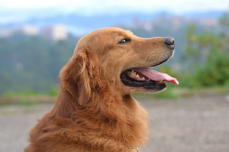 Alimentação Natural para Cães – Como Introduzir?
