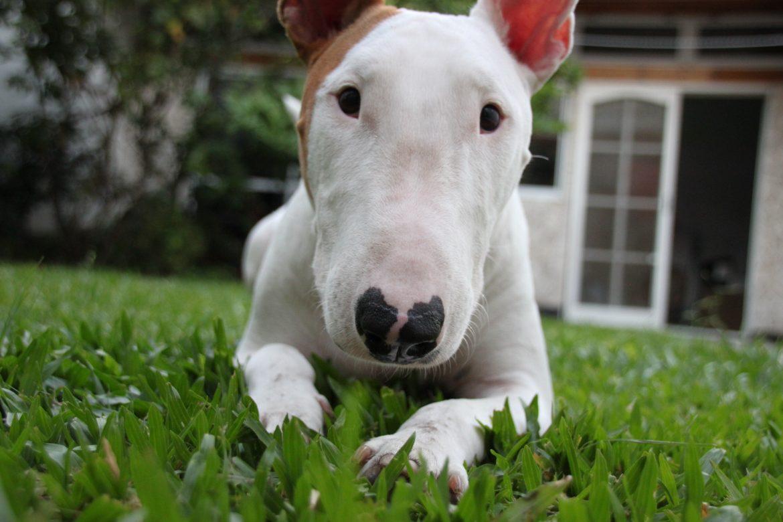 Bull Terrier – História e Saúde