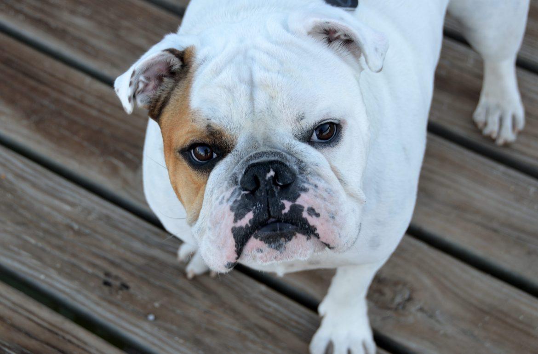 Bulldog – História e Saúde