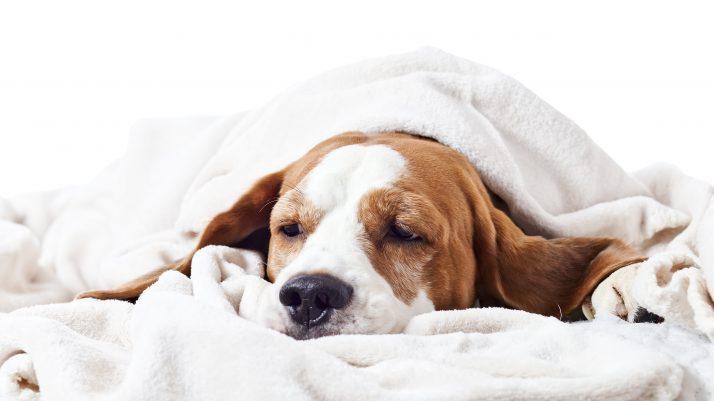 Cão com dor: como identificar?