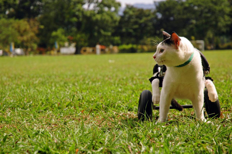 Cadeira de rodas para gato: vida ativa para seu pet