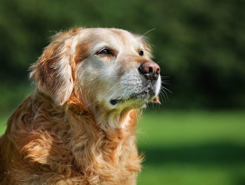 Doenças em cães idosos: conheça as principais!