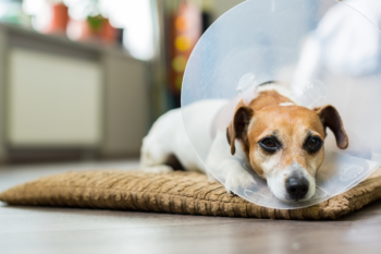 Como é a Cirurgia de Pata Quebrada em Cachorro?