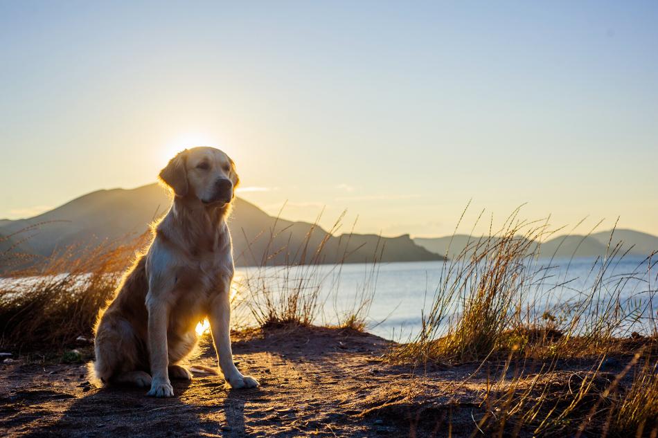 Displasia Coxofemoral em Labradores